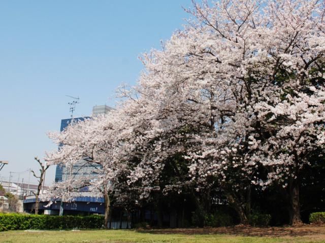新木場公園 お花見